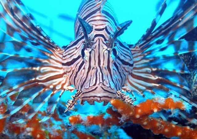 Lionfish-4 (3)