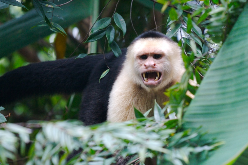 why monkeys are not pets the bocas breeze