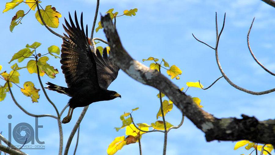 busardo-negro-norteno