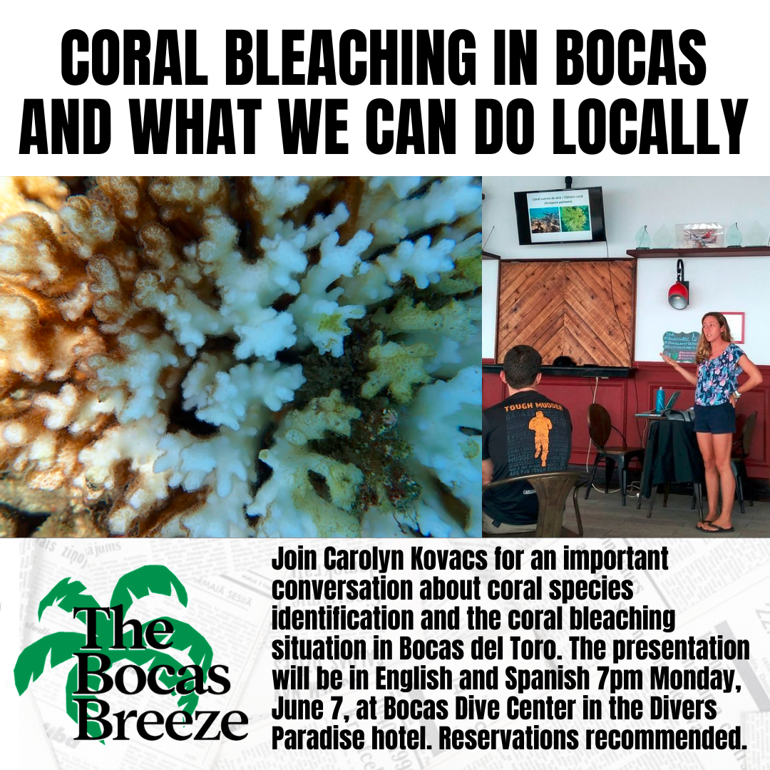 A news post from the Bocas Breeze Instagram promoting Carolyn Kovac's June 7 presentation. Pictured on the left is a coral partially bleached in Bocas del Toro and on the right is Carolyn Kovacs presenting at Bocas Dive Center.