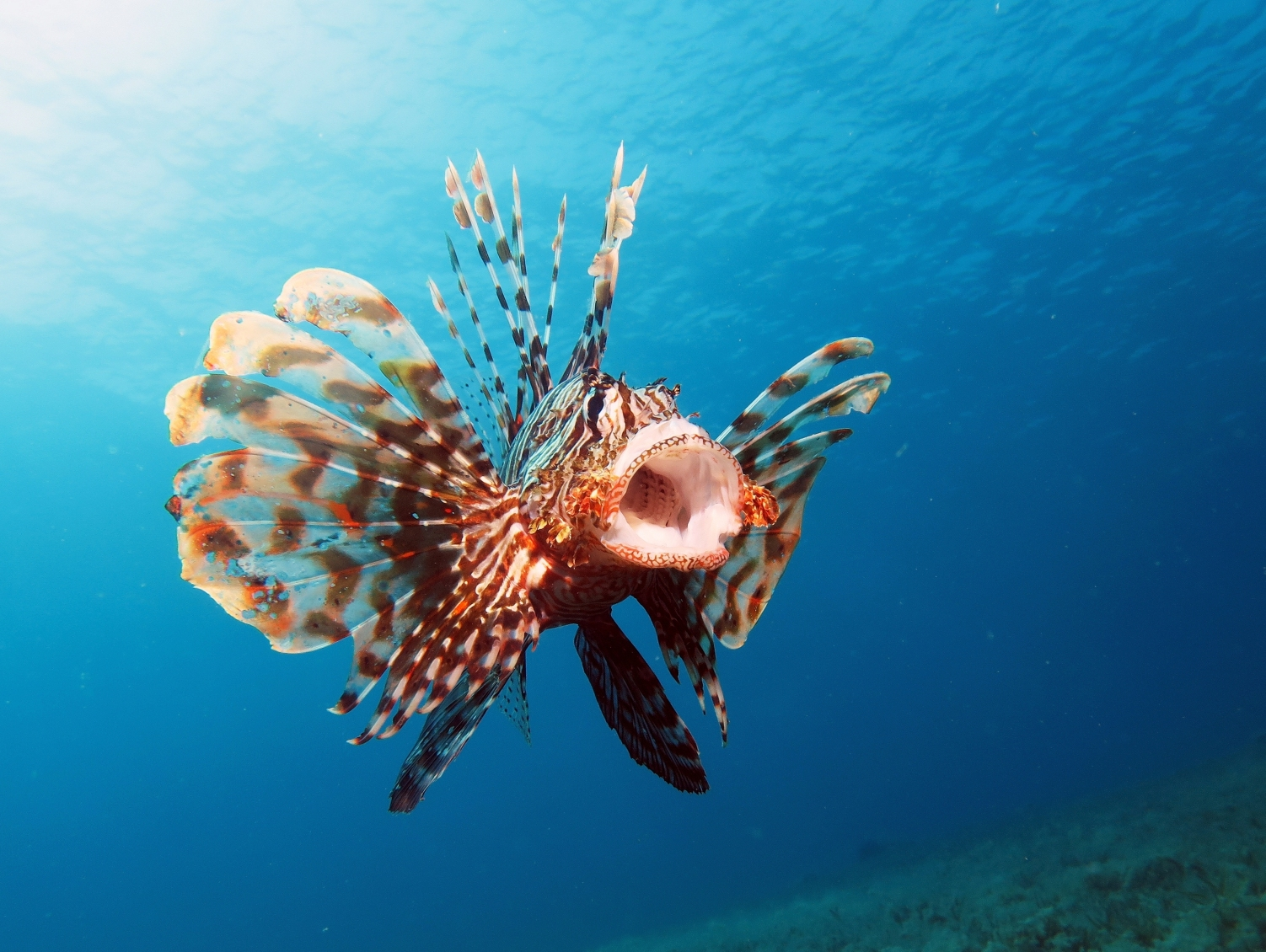 Lionfish in Bocas Have Met Their Match